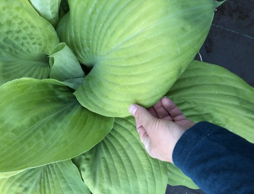 Using the humble Hosta to create the lush look of the tropics